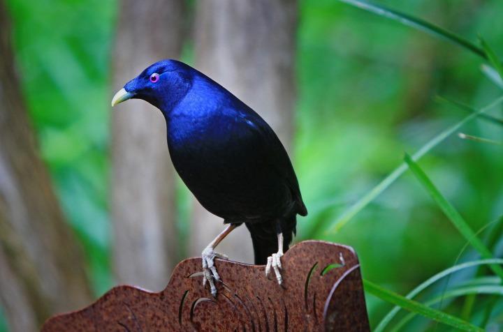 australia_satin_bower_bird_bird